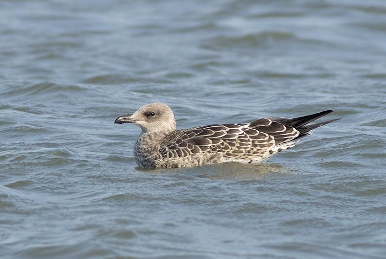 Geelpootmeeuw zeedijk WK 04072015 Corstiaan Beeke
