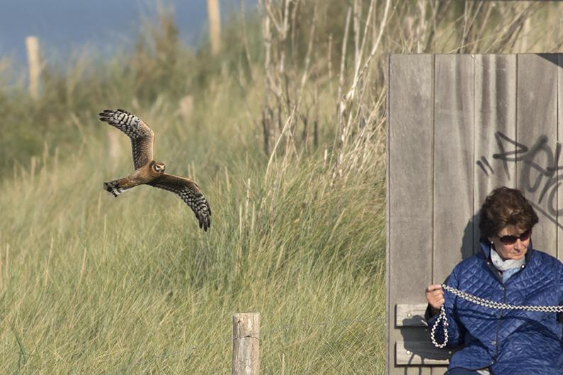 Grauwe Kiekendief 2 - Nolledijk - 09092015 - Pim Wolf