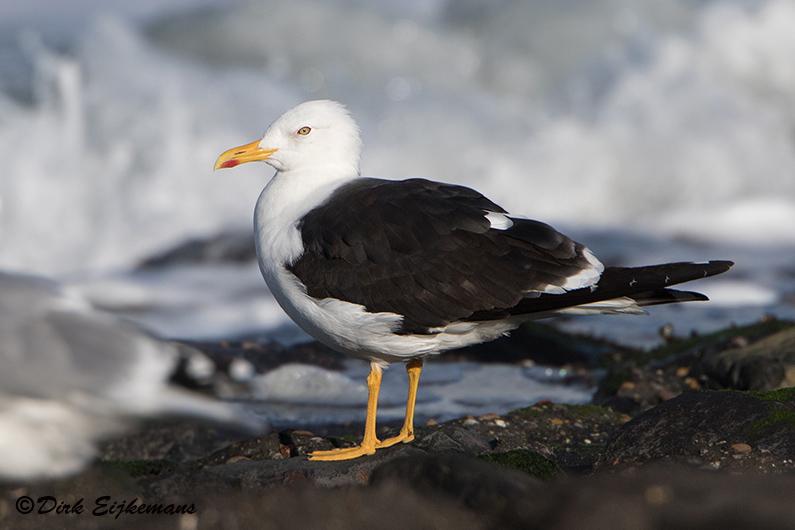 Baltische Mantel, zeedijk Wkap, 8okt2015, Dirk Eijkemans (795px)