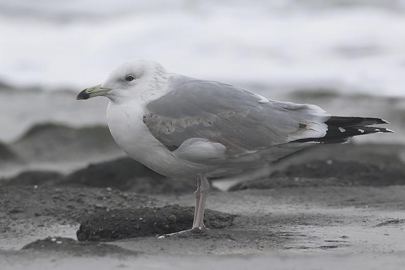 Pontische Meeuw - zeedijk WK - 09012016 - Corstiaan Beeke