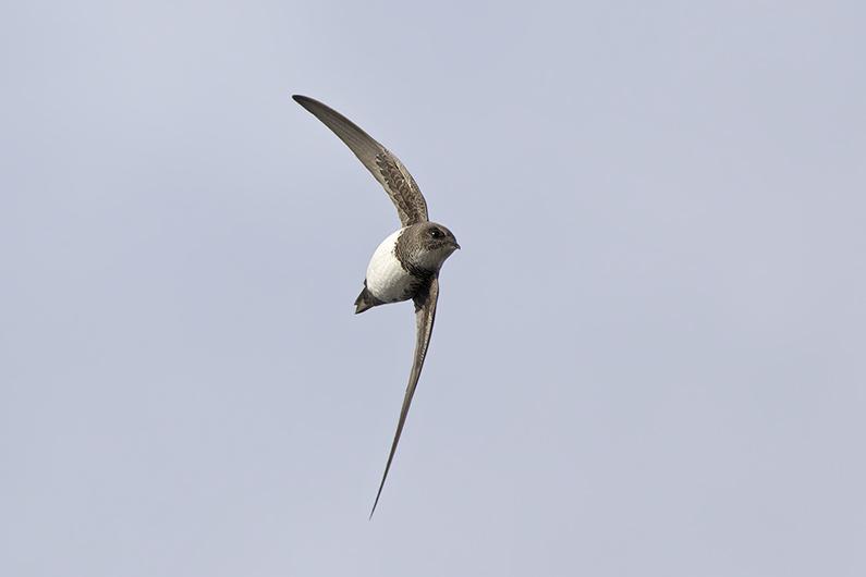 Alpengierzwaluw op Westkapelle!