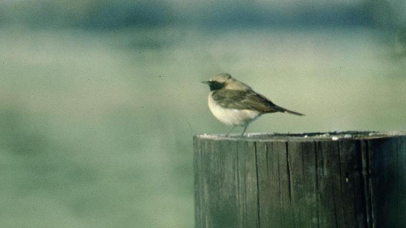 Oostlijke Blonde Tapuit, Aagtekerke 2 juni 1996 MK