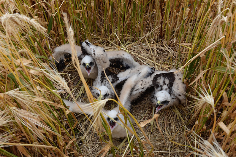 Bruine Kiekendieven gedood
