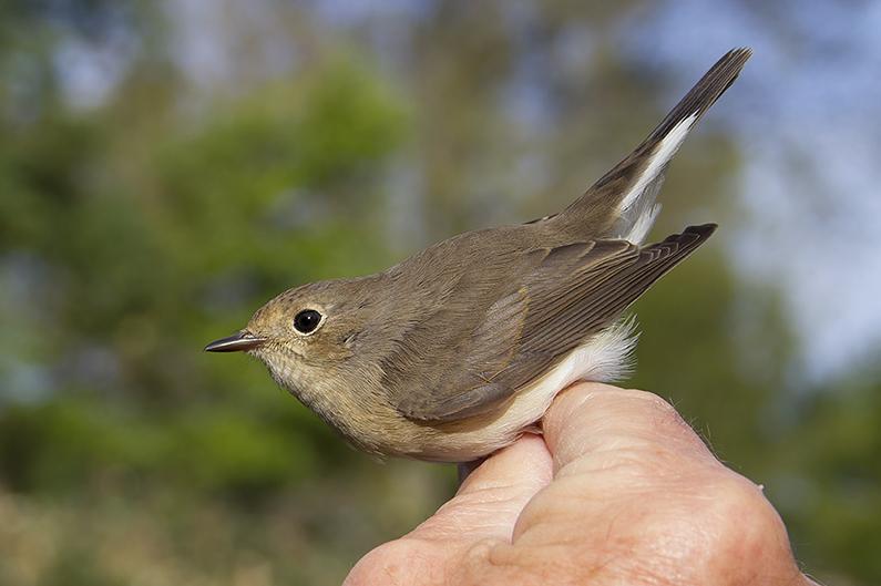Ringvangst Kleine Vliegenvanger op Westkapelle